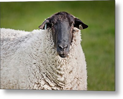 Portrait Of A Sheep Metal Print by Greg Nyquist