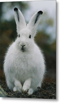 Portrait Of An Arctic Hare Metal Print by Norbert Rosing