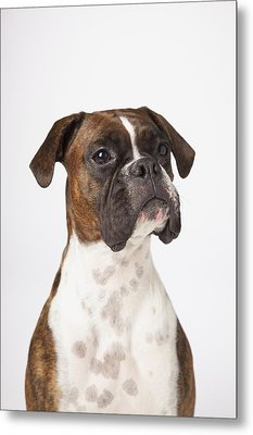 Portrait Of Boxer Dog On White Metal Print by LJM Photo