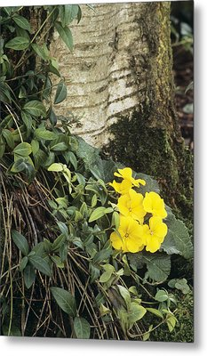 Primula 'wanda' And Vinca Minor Metal Print by Archie Young