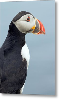 Puffin Of Lunga Metal Print by Fiona Messenger