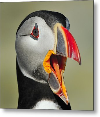 Puffin Portrait Metal Print by Tony Beck