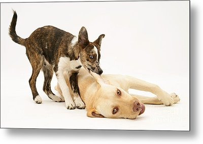 Pup Biting Lab On The Ear Metal Print by Mark Taylor