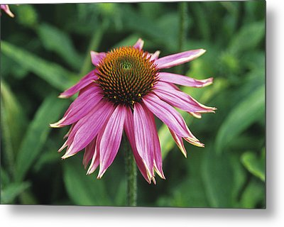 Purple Coneflower Metal Print by Duncan Smith