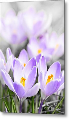 Purple Crocus Blossoms Metal Print by Elena Elisseeva