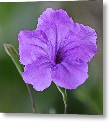 Purple Ruellia Metal Print by Becky Lodes