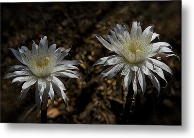 Queen Of The Night Blooms Metal Print by Saija  Lehtonen