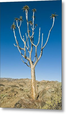 Quiver Tree Metal Print by Peter Chadwick