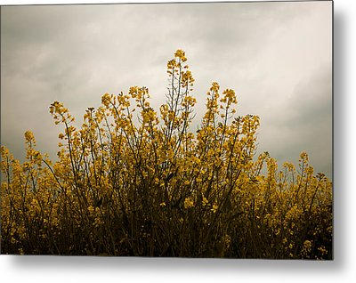 Rapes Field Metal Print by Svetlana Sewell