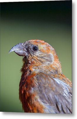 Red Crossbill Metal Print by Derek Holzapfel