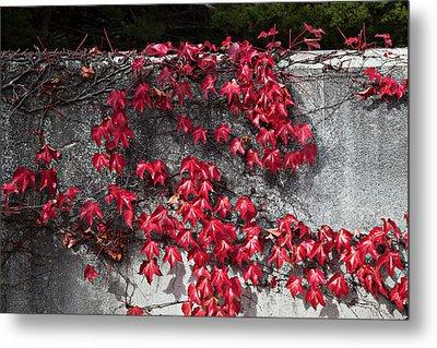 Red Ivy Metal Print by John Wong
