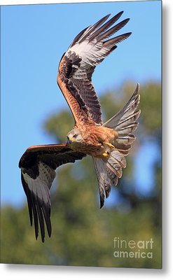Red Kite On A Mission Metal Print by Clare Scott