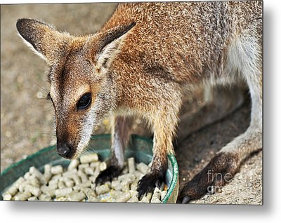Red-necked Wallaby Metal Print by Kaye Menner