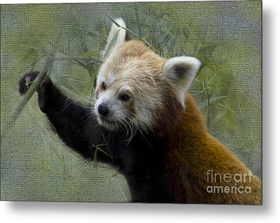 Red Panda Metal Print by Heiko Koehrer-Wagner