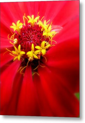 Red Passion Metal Print by Cindy Wright