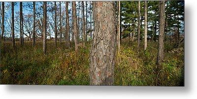Red Pine Forest Metal Print by Steve Gadomski