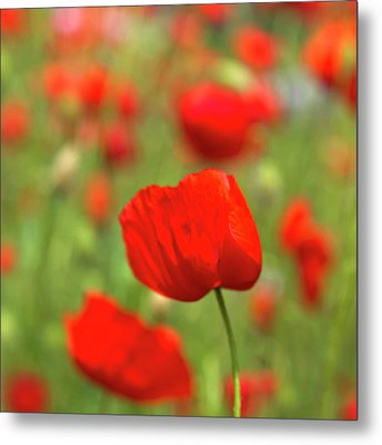 Red Poppies In Cornfield Metal Print by Kees Smans