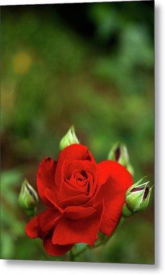 Red Rose Metal Print by Annfrau