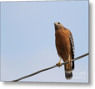 Red-shouldered Hawk . 7d10252 Metal Print by Wingsdomain Art and Photography