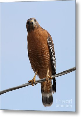 Red-shouldered Hawk . 7d10254 Metal Print by Wingsdomain Art and Photography