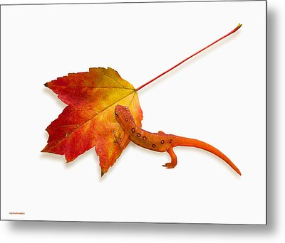 Red Spotted Newt Metal Print by Ron Jones
