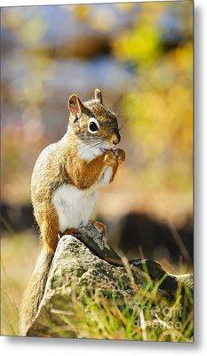 Red Squirrel Metal Print by Elena Elisseeva