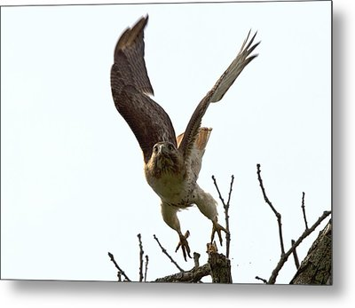 Red Tail Hawk Takeoff Metal Print by Ron Sgrignuoli