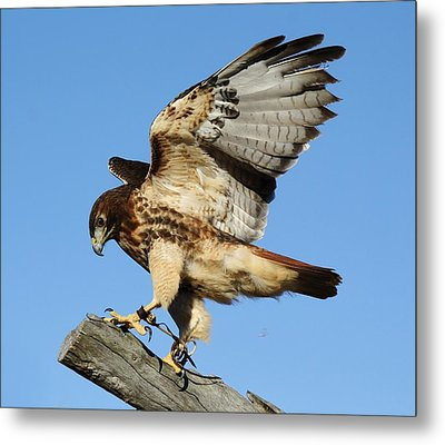 Red Tailed Hawk Metal Print by Paulette Thomas
