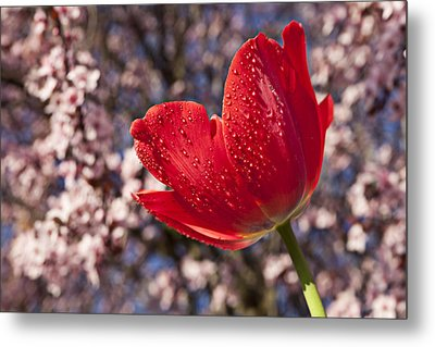 Red Tulip Against Cherry Tree Metal Print by Garry Gay
