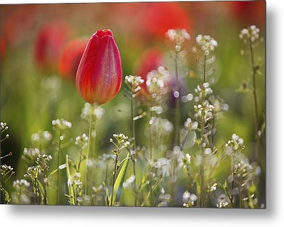 Red Tulips Growing With Sprigs Of Small White Flowers At Wooden Shoe Tulip Farm Metal Print by Design Pics / Craig Tuttle