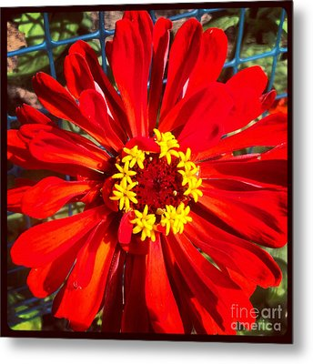 Red Zinnia Metal Print by Christine Segalas