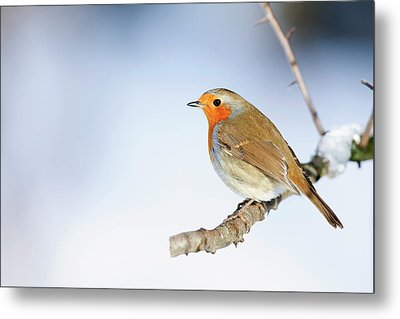 Robin (erithacus Rubecula) Metal Print by Andrew Howe