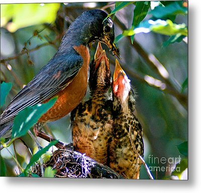Robin Feeding Young 2 Metal Print by Terry Elniski