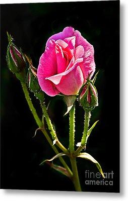Rose And Buds Metal Print by Robert Bales