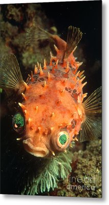 Rounded Porcupine Fish Metal Print by Nature Source