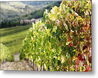 Row Of Grapevines In Vineyard Metal Print by Jeremy Woodhouse