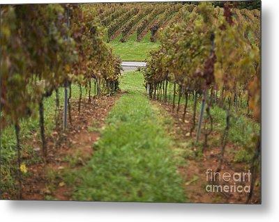 Rows Of Grape Vines Metal Print by Roberto Westbrook