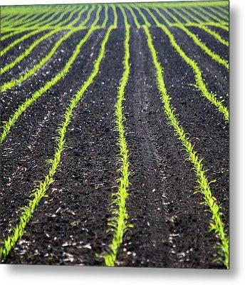 Rows Of Maize Seeds Metal Print by Baerbel Wilm