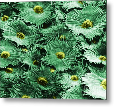 Russian Silverberry Leaf  Metal Print by Asa Thoresen and Photo Researchers