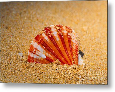 Scallop Shell Metal Print by Cheryl Young