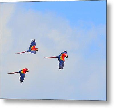 Scarlet Macaws Metal Print by Tony Beck
