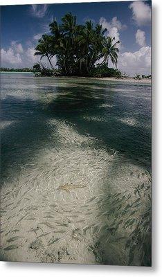 Schools Of Mulletfish Mugilidae Metal Print by Randy Olson