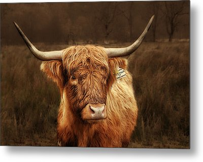 Scottish Moo Coo - Scottish Highland Cattle Metal Print by Christine Till