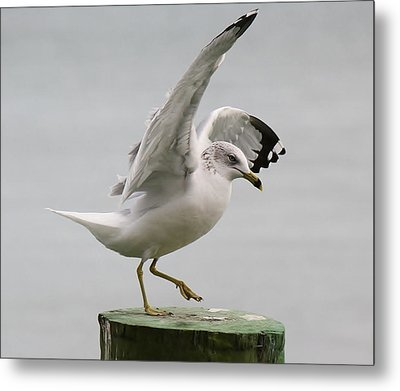 Sea Gull Dance Metal Print by Paulette Thomas