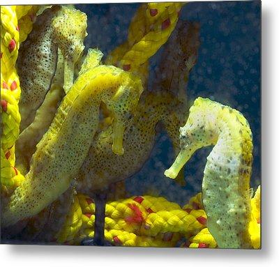 Seahorses Metal Print by Louise Murray