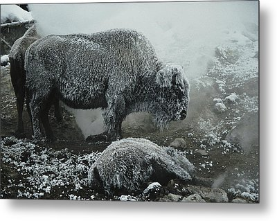 Shaggy With Rime, An American Bison Metal Print by Michael S. Quinton
