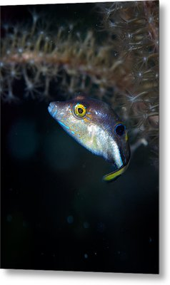 Sharp Nosed Puffer Metal Print by Jean Noren