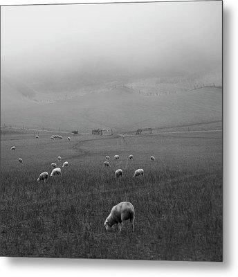 Sheep Grazing Metal Print by Sonja Rolton
