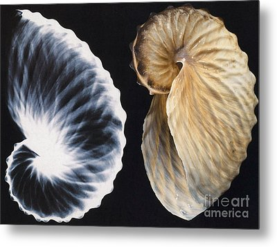 Shell X-ray Metal Print by Photo Researchers