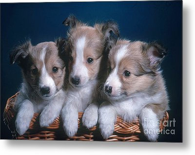 Sheltie Puppies Metal Print by Photo Researchers, Inc.